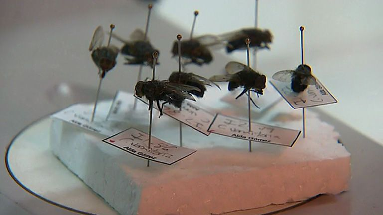 análisis de las moscas en el escenario de crímenes