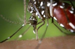 el mosquito tigre causante del virus Zika