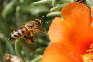 avispa volando a polonizar una flor naranja