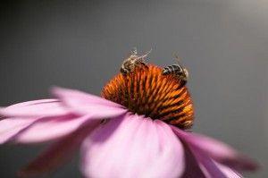 abejas en la flor buscando el polen