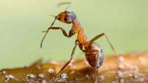 especie invasora de hormiga