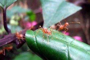 riesgos de las hormigas invasoras