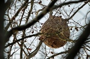 nido de avispa asiática en la copa del árbol