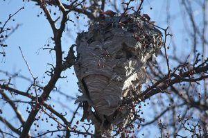 ejemplar de nido de avispa asiática