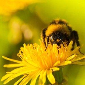las abejas son especies protegidas