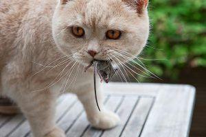 gato a la caza del ratón