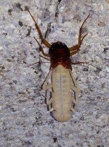 cucaracha blanca a causa de mudar la piel