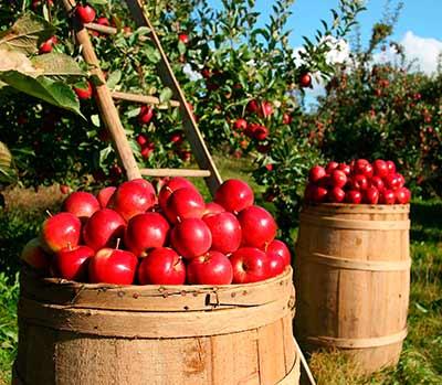 cultivo de manzanas certificadas por Globalgap