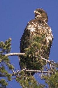 águila en el medio ambiente