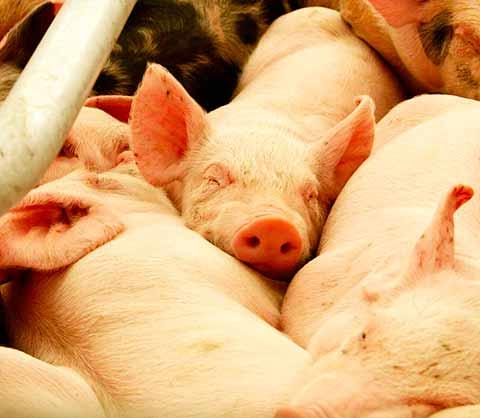 Certificado Sandach en productos de porcinos