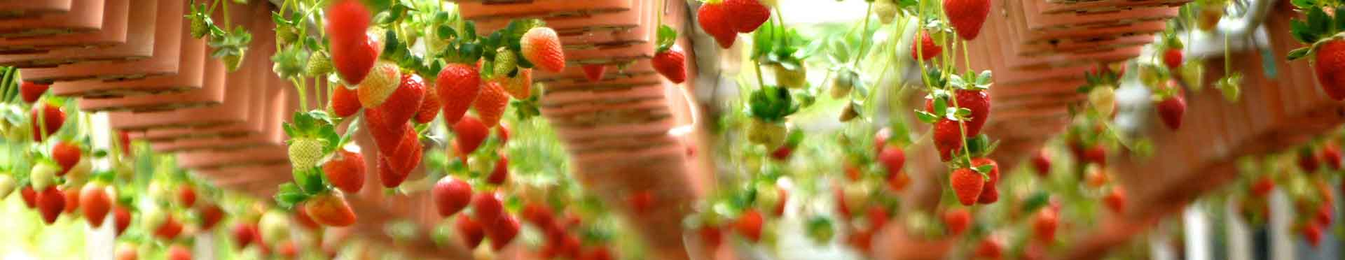 Asesoramiento de RD 506/2013 de fertilizantes para fresas