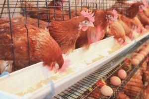 gallinas de granja