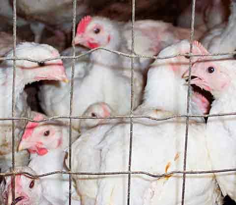 Implantación de certificado Sandach a granja de gallinas