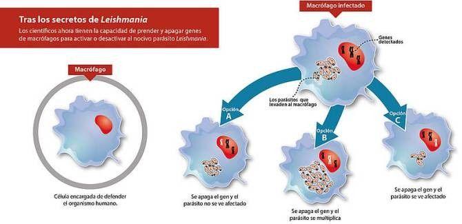 infografía de la bacteria Leishmania