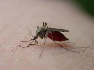 cómo es el mosquito tigre