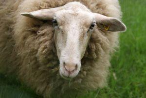 consultoría alimentaria en zonas de pasto de ovejas