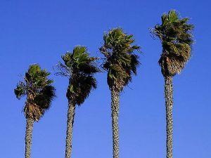 altas palmeras dañadas por el picudo rojo