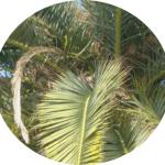 las hojas de las palmeras están afectadas por el picudo