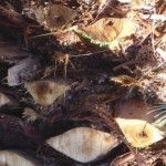 el tronco de la palmera está afectado por el picudo