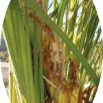 desecación de la hoja de palmera por el picudo rojo