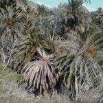 palmeral seco por la acción de la plaga de picudo rojo