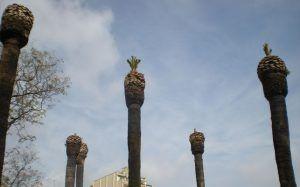 palmeras enfermas de la plaza de Tetuán de Barcelona