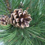la procesionaria afecta a los pinos de piñas