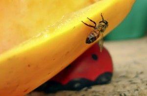 avispa posándose en la fruta