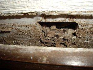 madera dañada por la actividad de las termitas
