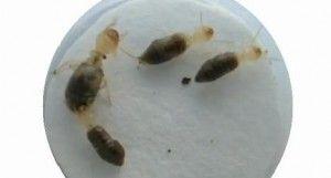 cuatro ejemplares de termitas que eliminar