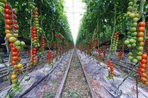 seguridad alimentaria en invernadero de tomates