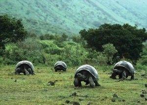 curiosidades de las tortugas de Islas Galápagos