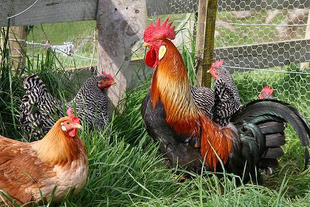 gallos y gallinas de diversas especies
