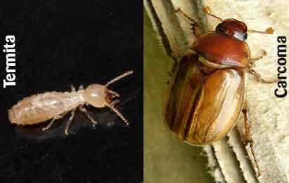 diferenciar ejemplar de carcoma y termita
