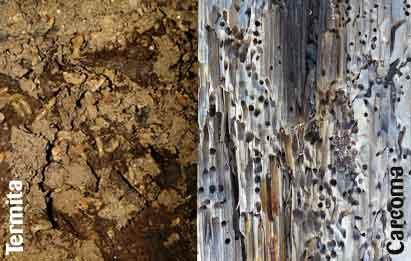 daños en la madera de la carcoma y de la termita
