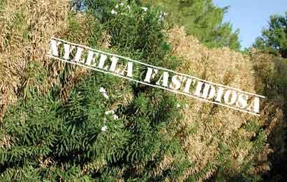 la bacteria xylella fastidiosa llega a España